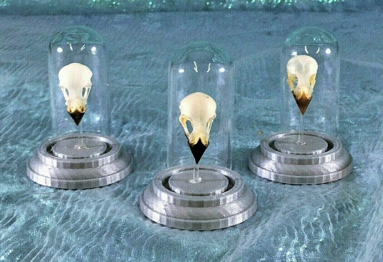 Taxidermy Munia Bird Skull Glass Dome Display Collectible Specimen