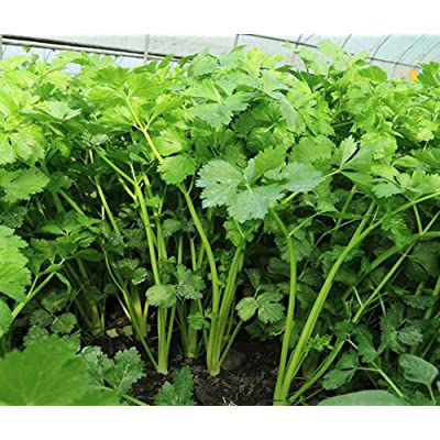 200Pcs Chinese Celery Khan Choy Cool Weather Herb Flavor Seeds : Garden & Outdoor