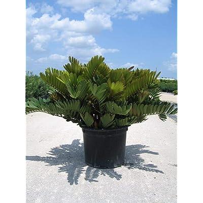 Cardboard Palm (Zamia Furfuracea) Live Seedlings Prehistoric Cycad : Garden & Outdoor