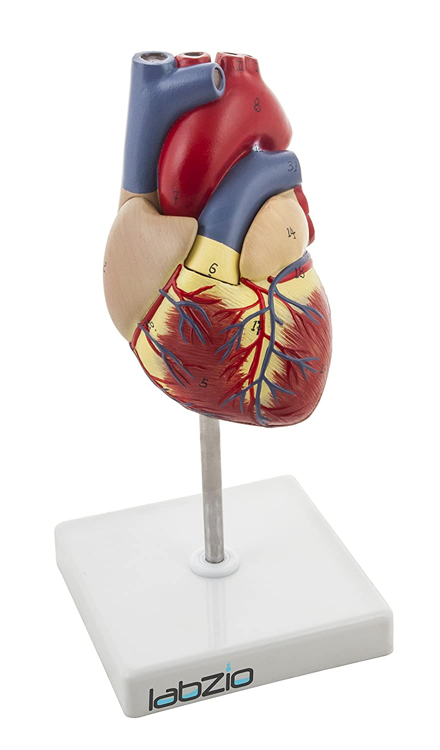 Labzio By Eisco Deluxe Natural Size Human Heart Anatomical Model