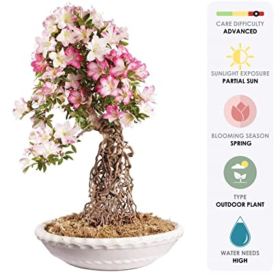 """Brussel's Live Azalea Specimen Outdoor Bonsai Tree - 35 Years Old; 19"""" Tall with Decorative Container: Garden & Outdoor"""