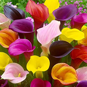 Amazon Com Hybrid Calla Lilies Mixed Value Pack 5 Bulbs Pkg