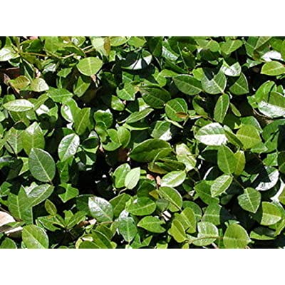 "2 Plants 4"" Pot Asiatic Minima Green Jasmine Shrubs Outdoor Gardening tkdael : Garden & Outdoor"