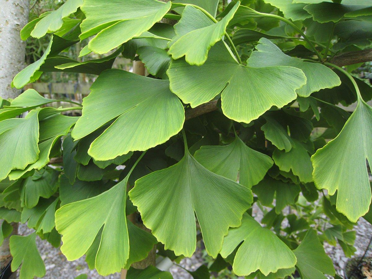 GardenHouse Ginkgo Biloba Maidenhair - Á rbol de medallas para plantas, sin enfermedades, para memoria, 9 cm