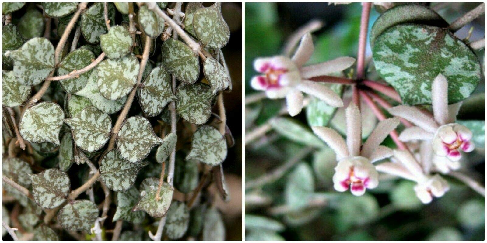 3 Cuttings 5'' Hoya Curtisii Tiny Porcelain Fung Wax Flower Succulent Cacti Plant