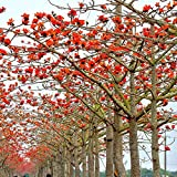 5 Red Cotton Tree Seeds Bombax Ceiba