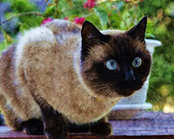 ADVLOOK Pintando Adultos por Numero Gato Siames Animal ...