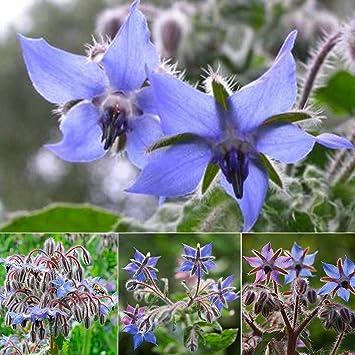 Aimado Seeds Garden-50 Bourrache graines,une plante annuelle ...
