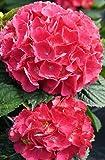 Hortensie Bauernhortensie Red Baron Hydrangea macrophylla Red Baron Containerware 40-50 cm
