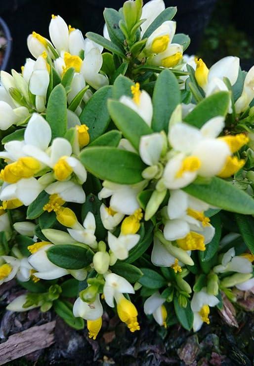 Fiori Bianchi Con Quattro Petali.Polygala Chamaebuxus Arbusto Ornamentale Colorato Con Fiori