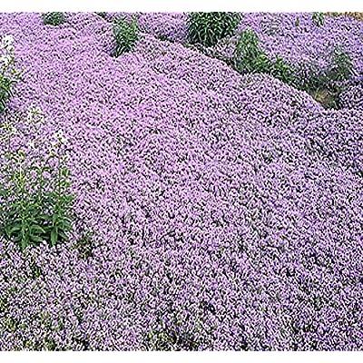 1 oz x (Reg) Creeping Thyme Herb Seeds - Thymus serpyllum - Excellent Ground Cover - Butterflies Love It - by MySeeds.Co (Reg Creeping Thyme - 1 oz) : Garden & Outdoor