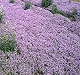 MySeeds.Co 10,000 x (DWARF) CREEPING THYME Herb Seeds - Thymus Serpyllum - Excellent Ground cover - Butterflies love it - By (DWARF Creeping Thyme - Pkt. Size)