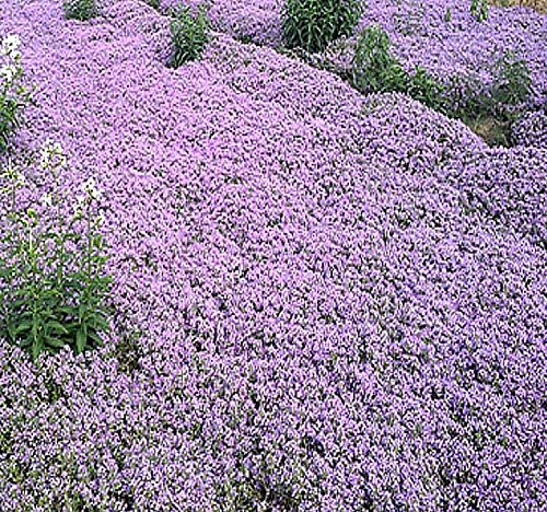 BIG PACK x ALYSSUM ROYAL CARPET Flower Seeds (10,000) - Fragrant Lobularia maritima - Attracts HONEY BEES BIRDS BUTTERFLY - Ground Cover for Zones 3 And UP - By MySeeds.Co (Big Pack - 10,000 Seeds) (Ground Cover Seeds)