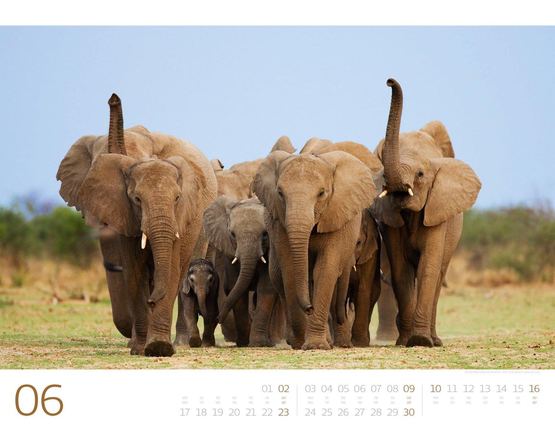 elefanten die sanften riesen afrikas 2019 wandkalender im querformat 54x42 cm tierkalender mit monatskalendarium