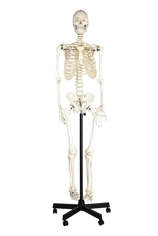 Amazon.com: Eisco Labs Life Sized Human Skeleton Model (62\