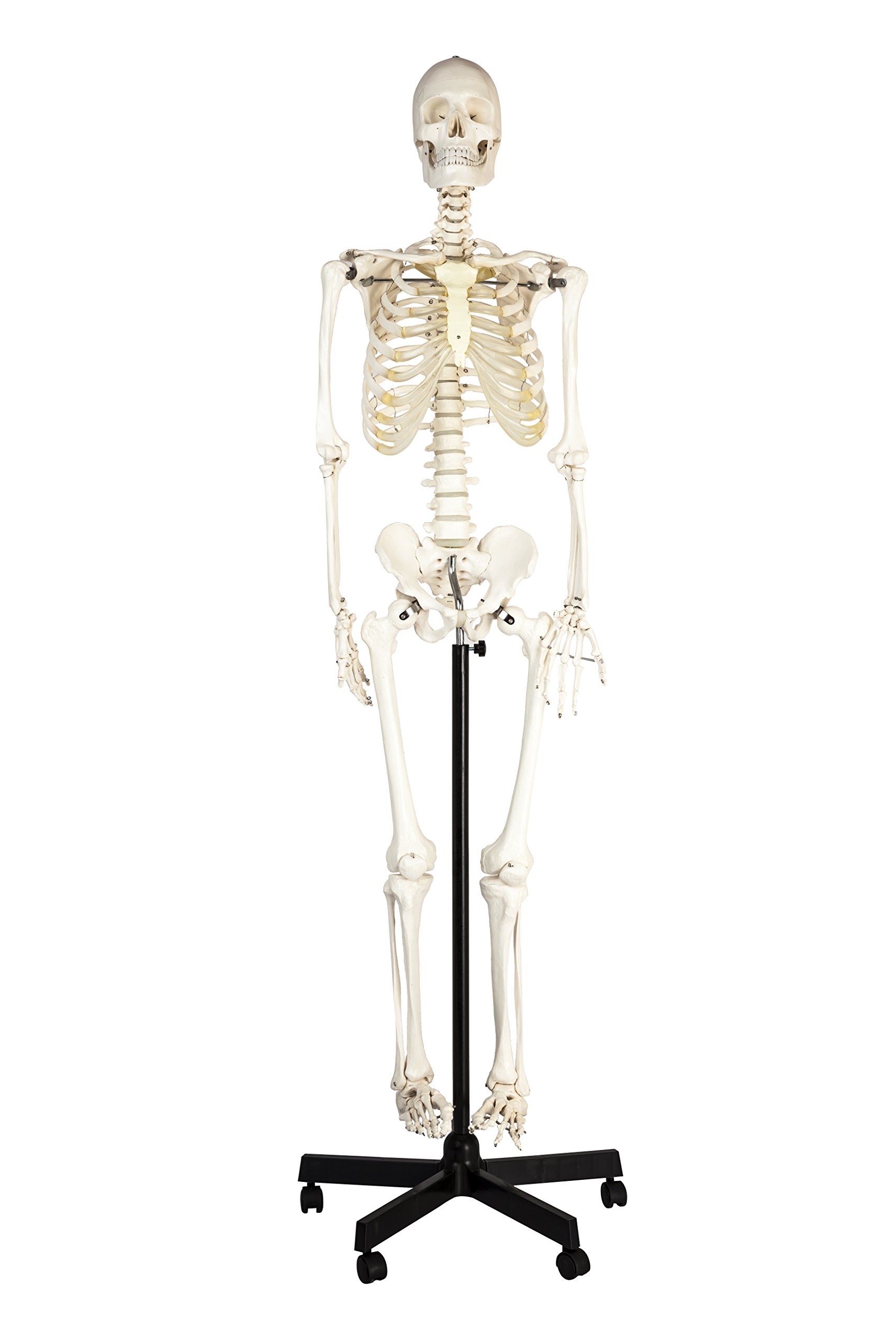 Eisco Labs Life Sized Human Skeleton Model (62'' Height), Articulated Joints, Pelvic Mounted with Wheeled Base