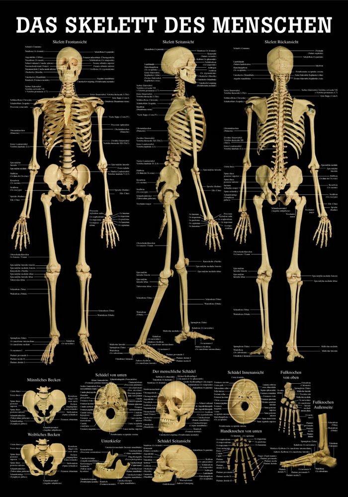 Skelett des Menschen Lehrtafel Anatomie 100x70 cm medizinische Lehrmittel 70 cm x 100 cm laminiert Ruediger Anatomie TA71LAM