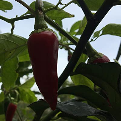 AchmadAnam - Seeds 20+ Hot Fresno Pepper (Organic Chili, Chile) Hotter Than a Jalapeno : Garden & Outdoor
