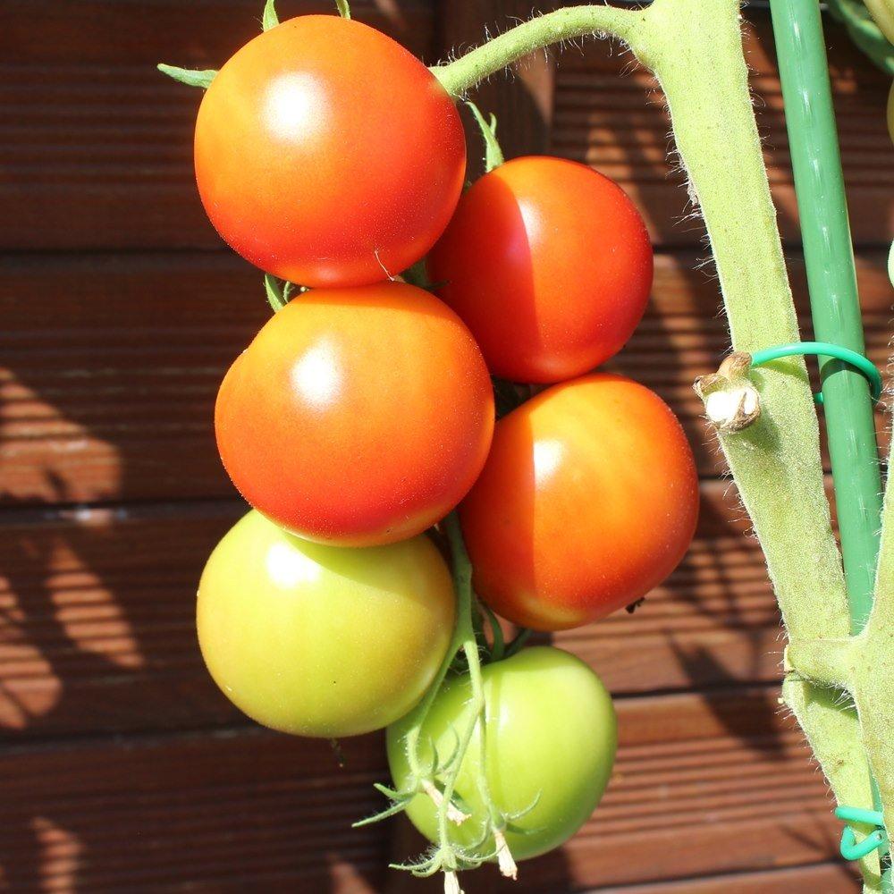 10 Samen Tomate Alicante