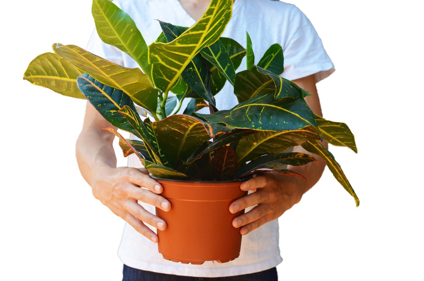 Croton Petra in 6'' Pot/12 - 16'' Tall/FREE Care Guide/House Plant
