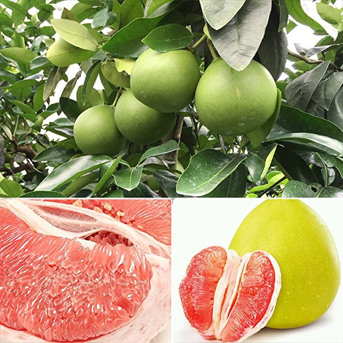 Amazon.com: dds5391 20Pcs Red Pomelo Citrus Maxima Grapefruit ...