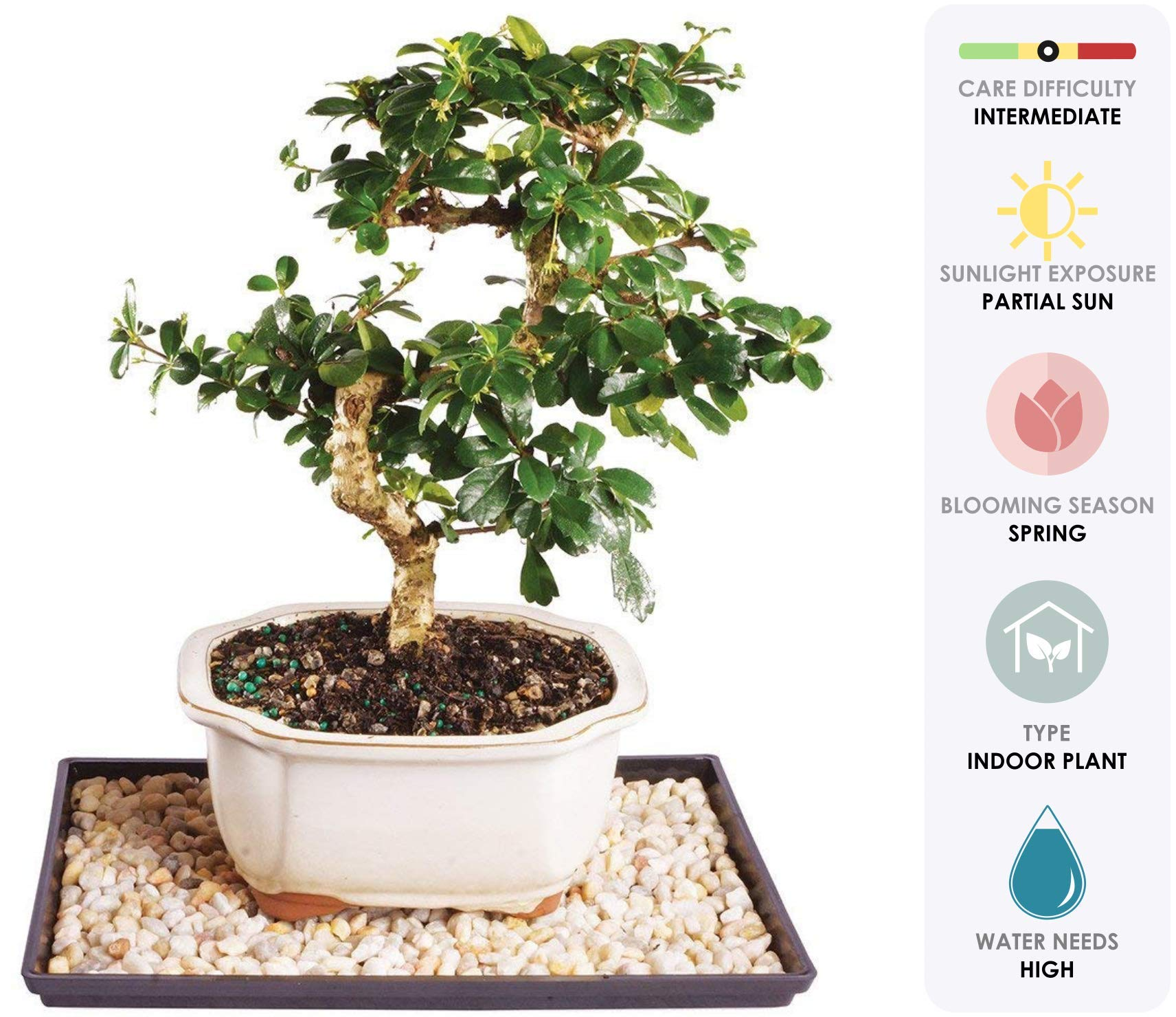 Brussel's Live Fukien Tea Indoor Bonsai Tree - 7 Years Old; 8'' to 12'' Tall with Decorative Container, Humidity Tray & Deco Rock by Brussel's Bonsai