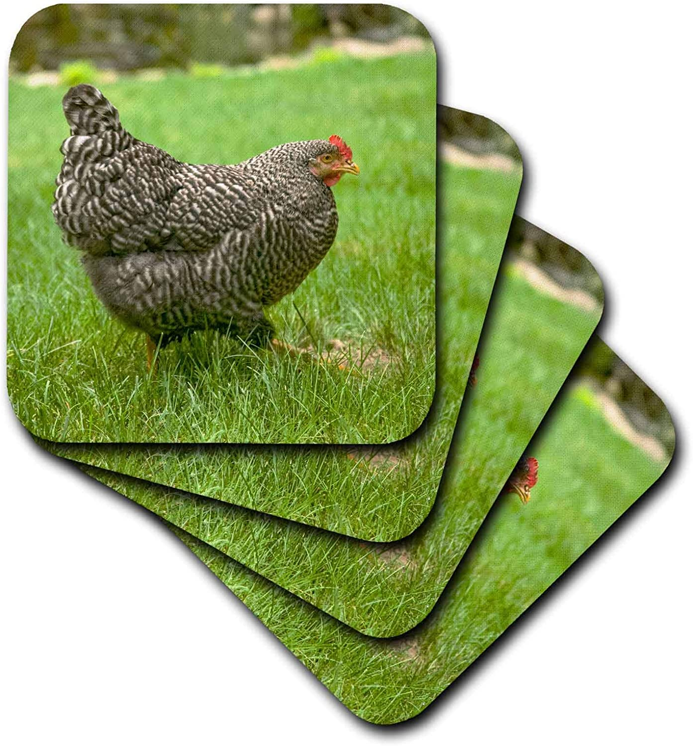 3dRose Free-ranging Barred Plymouth Rock chicken foraging on a lawn, PR - Coasters (cst_332847_3)