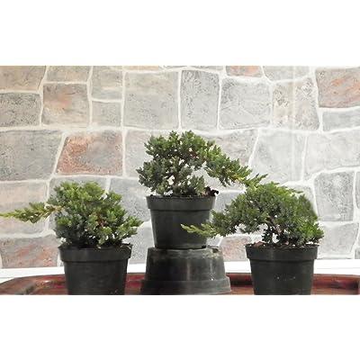 Hot Sale! 3 Large Japanese Dwarf Juniper Pre Bonsai Trees: Garden & Outdoor