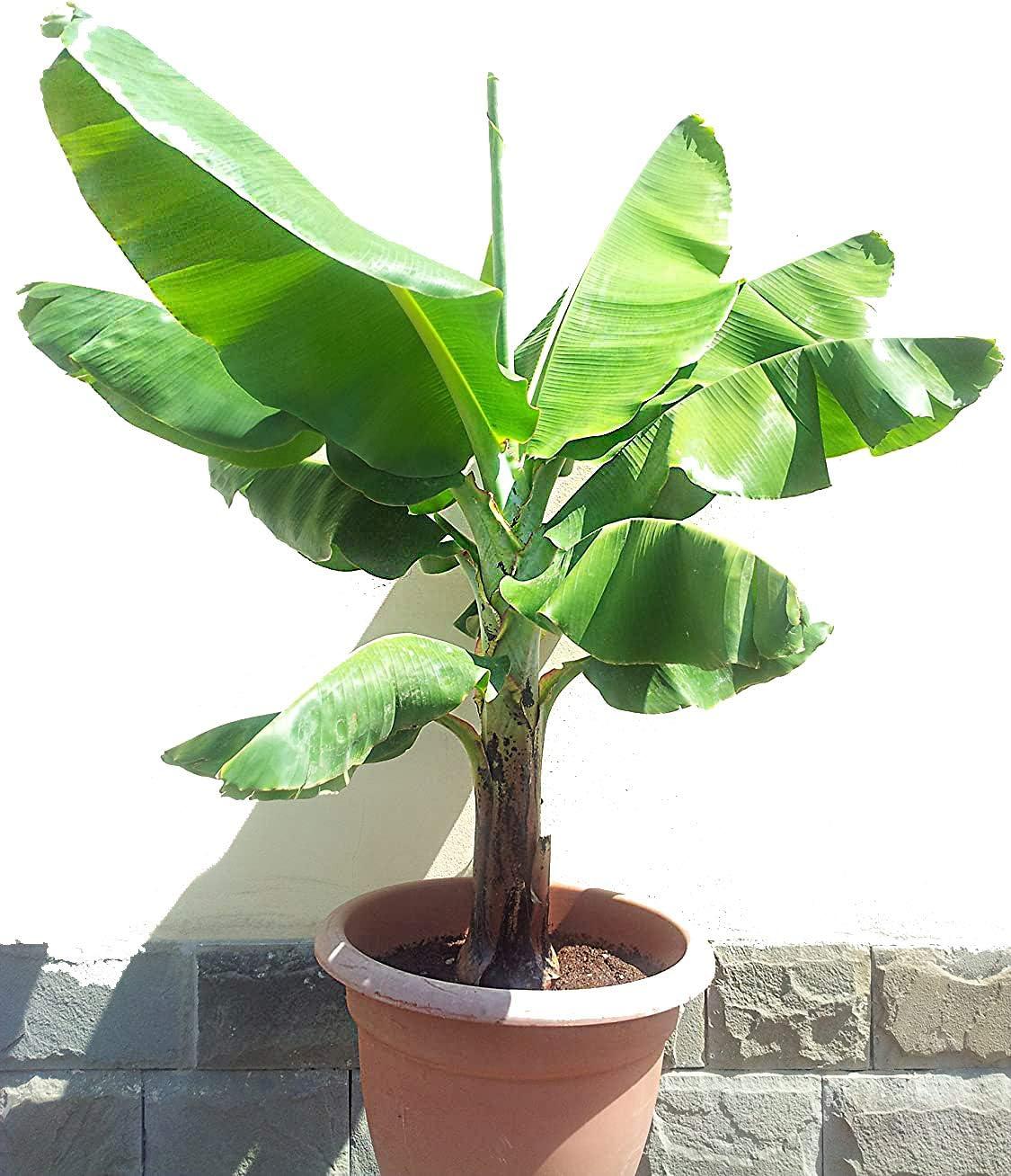 Safe Plants Banana Tree