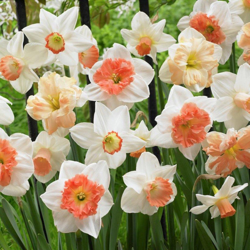 Van Zyverden Daffodils Pink Mixture Set of 100 Bulbs by VAN ZYVERDEN