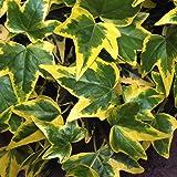 1 X HEDERA HELIX 'GOLDCHILD' ENGLISH IVY EVERGREEN SHRUB HARDY PLANT IN POT