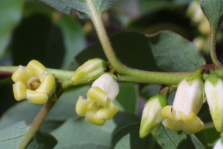 Amazon.com : American Persimmon, Diospyros virginiana, 10 Tree Seeds ...