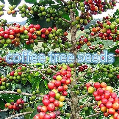 wpOP59NE 20Pcs Kopi Luwak Coffee Beans Seeds Garden Bonsai Perennial Plant Dwarf Tree - 20pcs Coffee Beans Seeds Plant Seeds : Garden & Outdoor