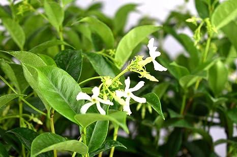 Amazon star jasmine live rooted plant white flower 6 inch tall star jasmine live rooted plant white flower 6 inch tall easy to grow 3 mightylinksfo