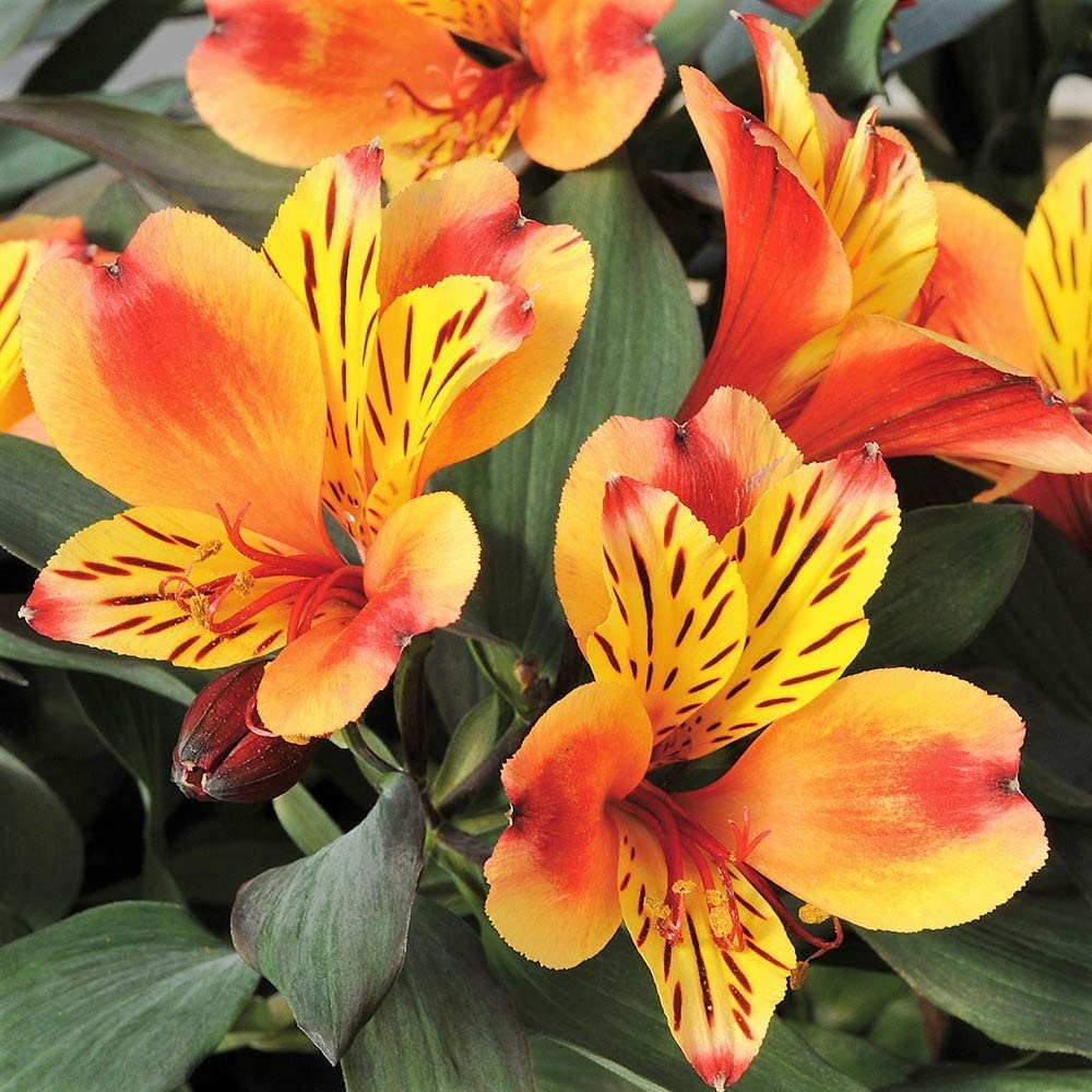 Alstroemeria Summer Paradise Collection /'Indian Summer 1 x 1 5 LTR Pot