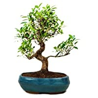 THE BONSAI PLANTS Beautiful Live S Shape 6 Year Old Ficus Bonsai Tree