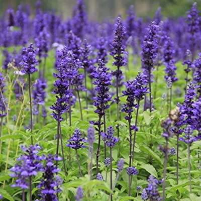 Earth Seeds Co 20 Pcs Lavender Seeds Blue Flower Seeds Perennial, bee Cut Flower Seeds Drought Tolerant Ideal for beds pots and containers : Garden & Outdoor