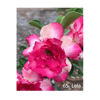 No65 Lela, Desert Rose Adenium Obesum, Mature Plant, New Hybrid, New Arrival, Very-Rare, Limited Quantities!! New-New-New!!! : Garden & Outdoor