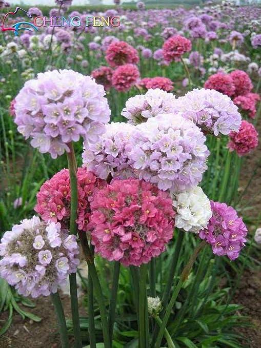 100 semillas de pastos marinos PC A Semillas Lote Wctch Rose Bonsai raros de la flor de los bulbos Flores Sementes para jardín hermosas plantas Jardin: Amazon.es: Jardín