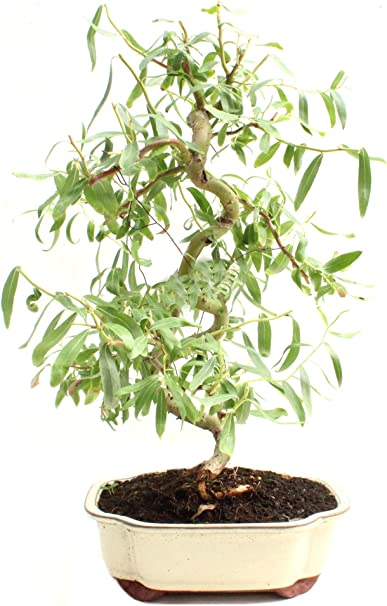 Amazon Com Bonsai Dwarf Japanese Curly Willow Tree Cutting Very Rare Fast Growing Bonsai Get A Mature Looking Bonsai Very Fast Garden Outdoor