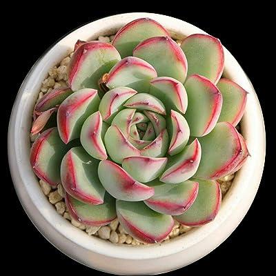 AchmadAnam - Live Plant Echeveria Pulidonis Rare Succulent for Fairy Garden Home Office Decor : Garden & Outdoor