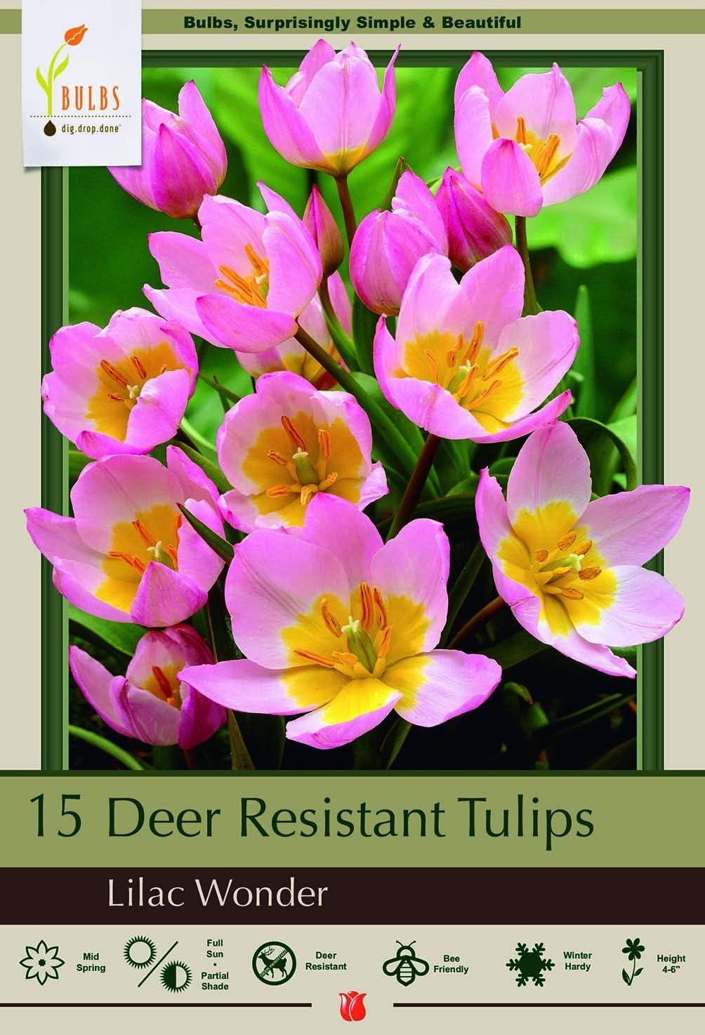 Amazon Com Lilac Wonder Tulip 10 Bulbs Very Hardy Perennial