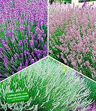 Baldur Garten Winterharte Stauden Lavendel Sortiment Blau Rosa