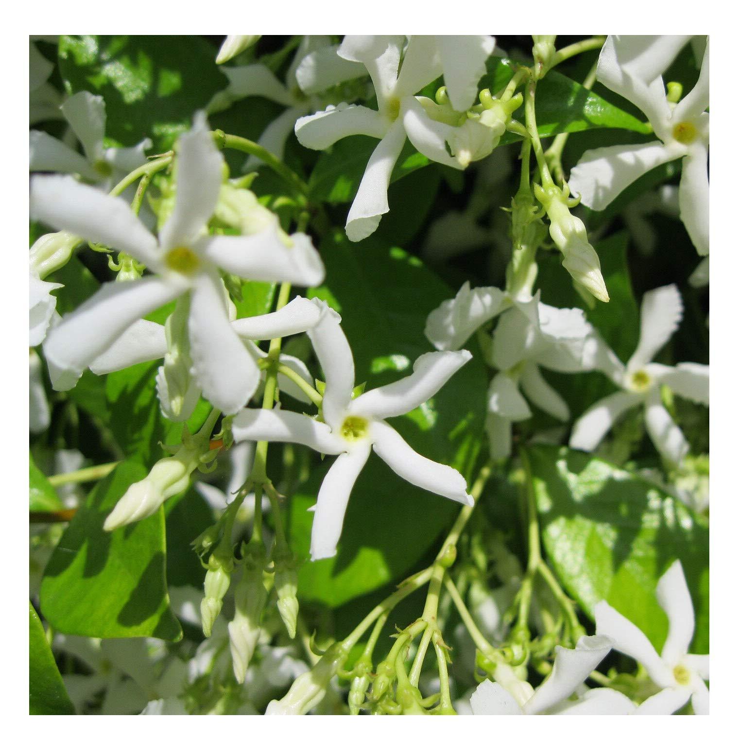 Star Jasmine Vine, Trachelospermum Jasminoides, 2 Plants KG