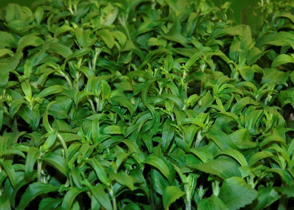 SAFLAX - Hierba dulce - 100 semillas - Stevia rebaudiana: Amazon ...