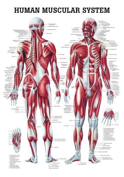 Amazon The Human Muscular System Laminated Anatomy Chart