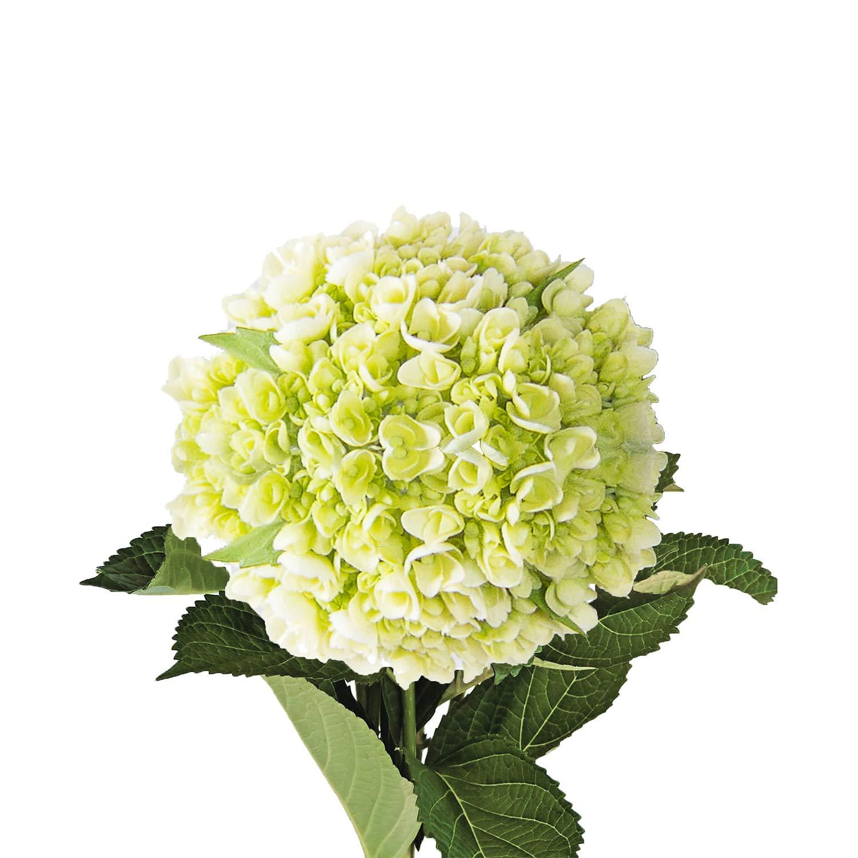 Farm Fresh Natural Mini Green Hydrangeas - Pack 20 by Bloomingmore