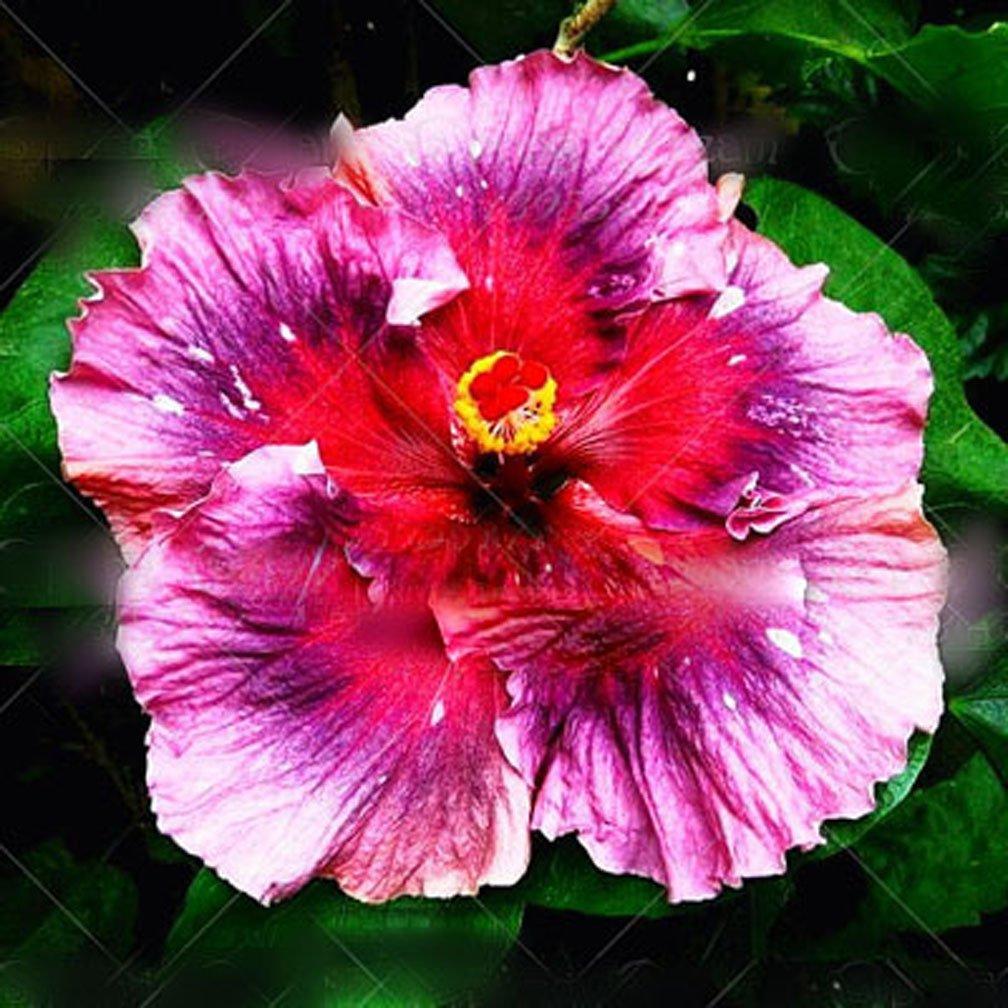 Amazon 11 11 100pcsbag giant hibiscus flower seeds chinese amazon 11 11 100pcsbag giant hibiscus flower seeds chinese cheap flower hibiscus seeds bonsai tree best gift for your kids easy grow f garden izmirmasajfo