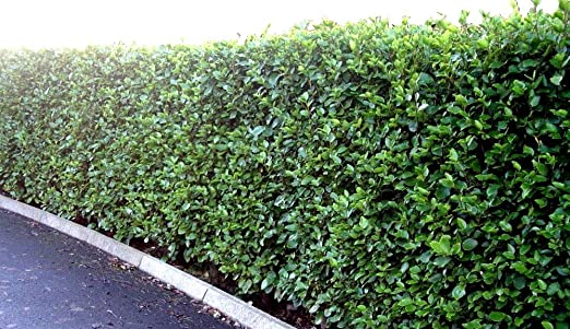 10 LAUREL CHERRY EVERGREEN HEDGE STRONG SHRUB PLANT 50//70cm TALL  LIMITED OFFER
