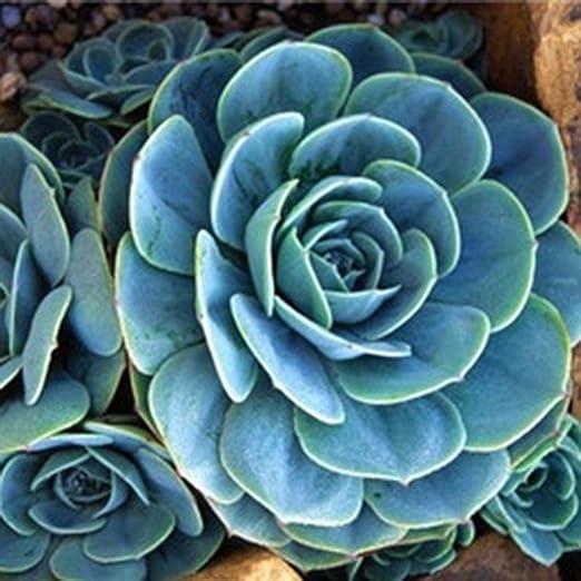 Lonlier Semillas de Suculentas 100 pcs Semillas Flores Raras para Jardín Huerto: Amazon.es: Jardín